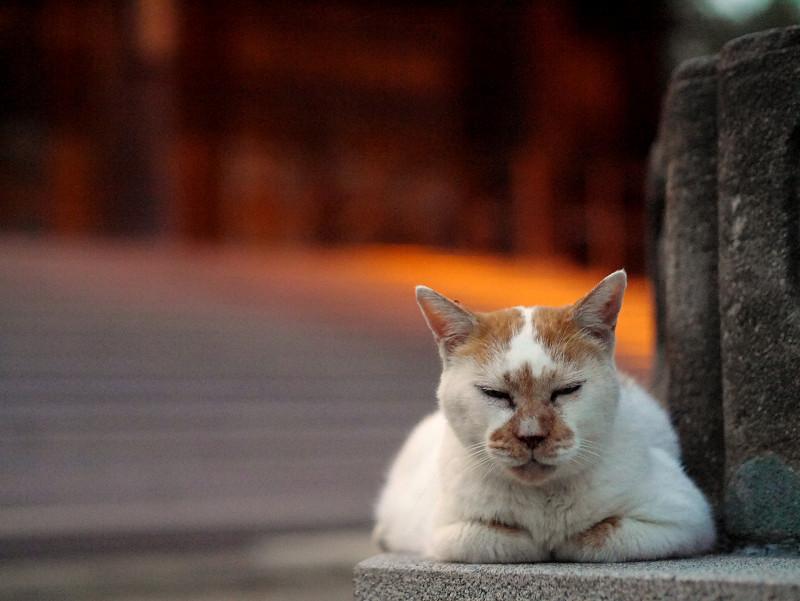 日が暮れる灯籠と白茶猫1