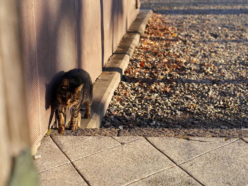 近付いて来るキジトラ猫1