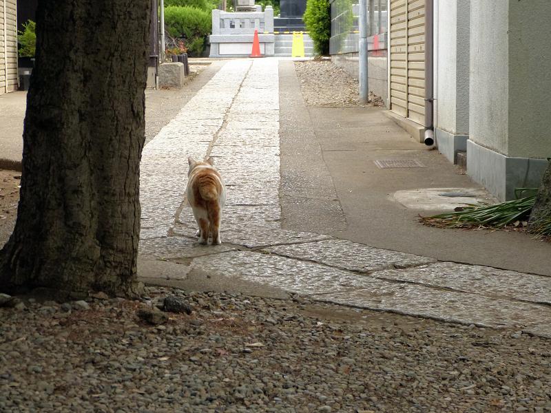 歩いてゆく白茶猫2