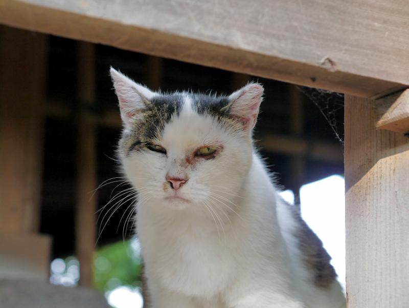 濡れ縁と白キジ猫2