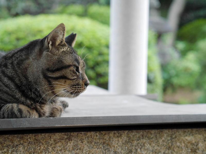 井戸の蓋上にいるキジトラ猫2