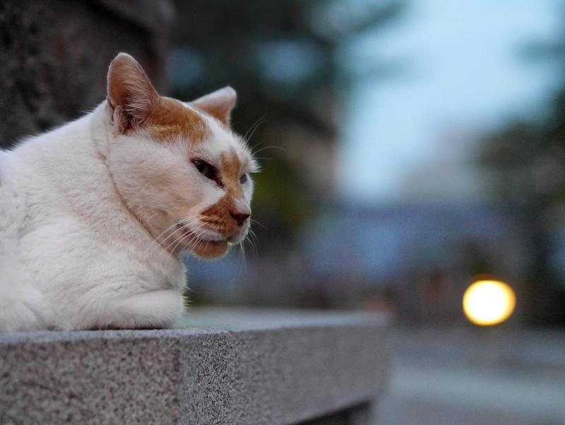 日が暮れる灯籠と白茶猫2