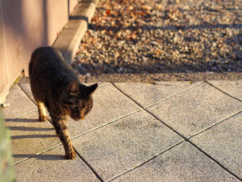近付いて来るキジトラ猫2