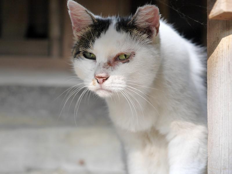 濡れ縁と白キジ猫3
