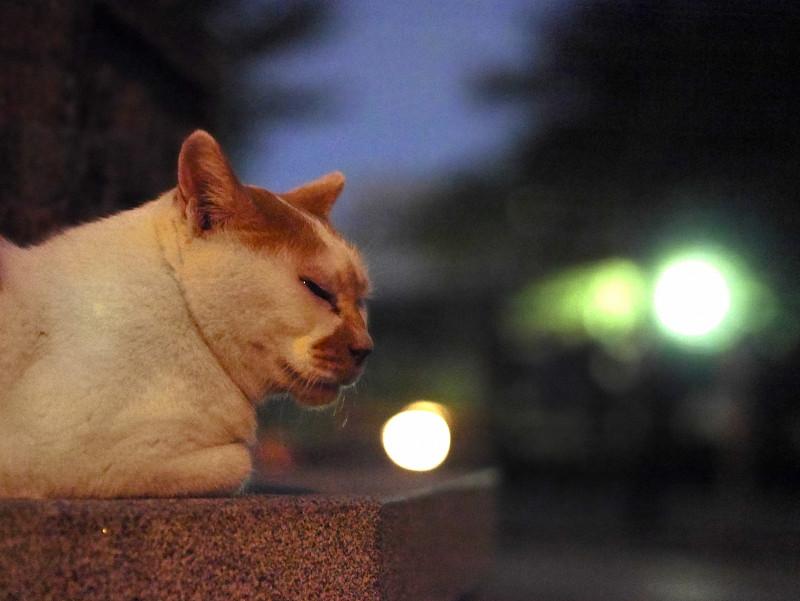 日が暮れる灯籠と白茶猫3
