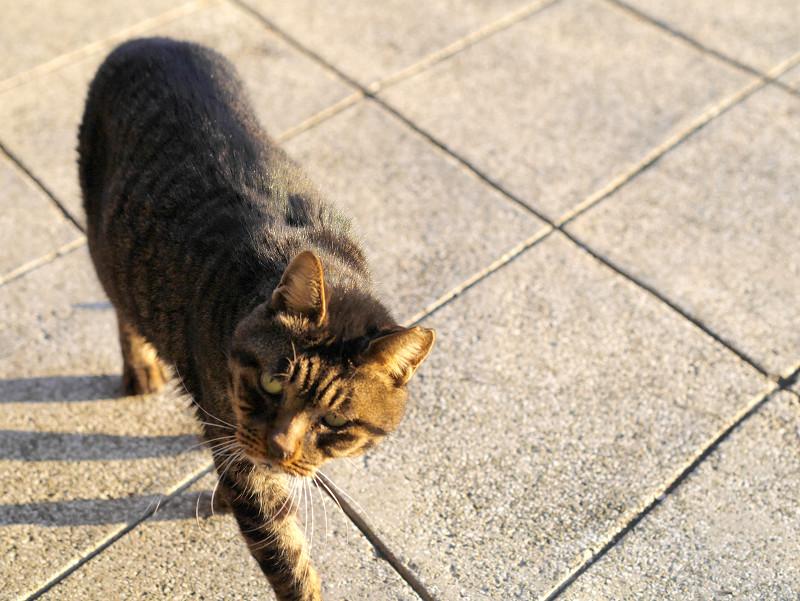 近付いて来るキジトラ猫3