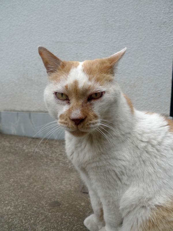 歩いてゆく白茶猫3
