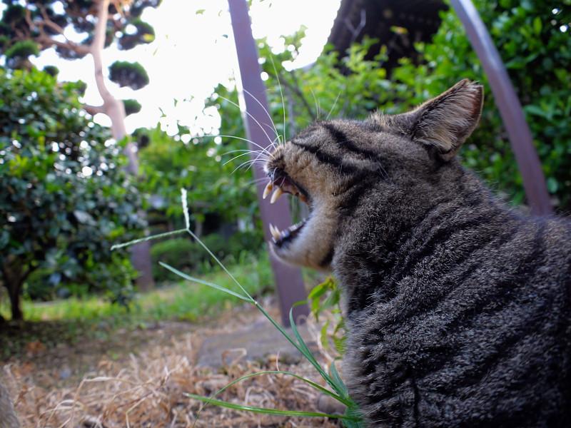 草むらでアクビするキジトラ猫4