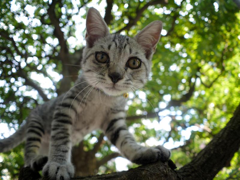 クスノキの樹上から見下ろすサバトラの仔猫1