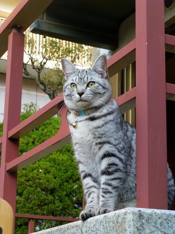 濡れ縁のサバトラ猫1