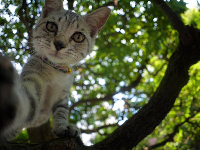 クスノキの樹上から見下ろすサバトラの仔猫2