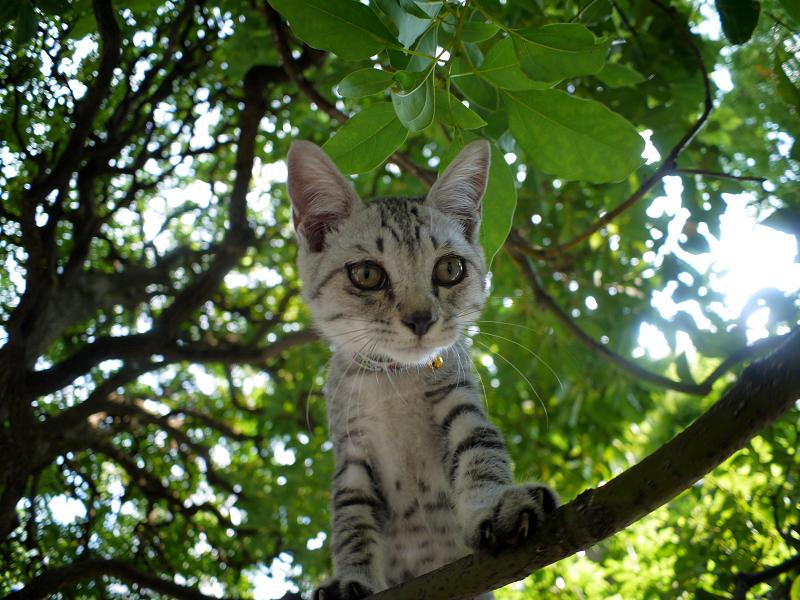クスノキの樹上から見下ろすサバトラの仔猫3