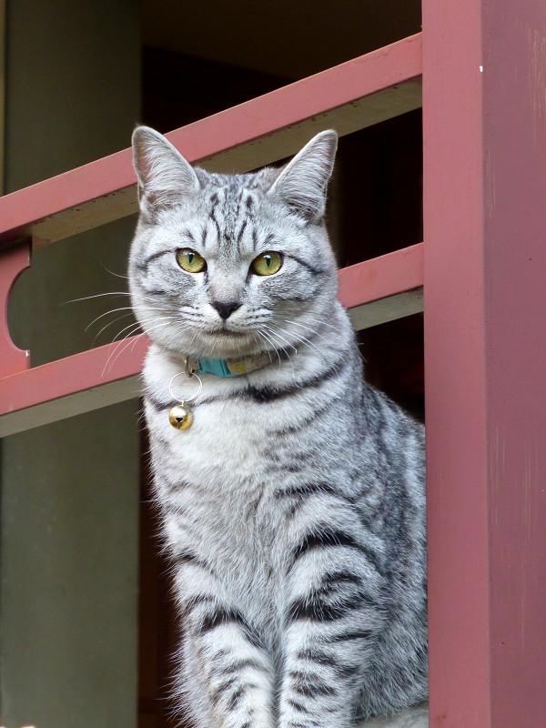 濡れ縁のサバトラ猫3