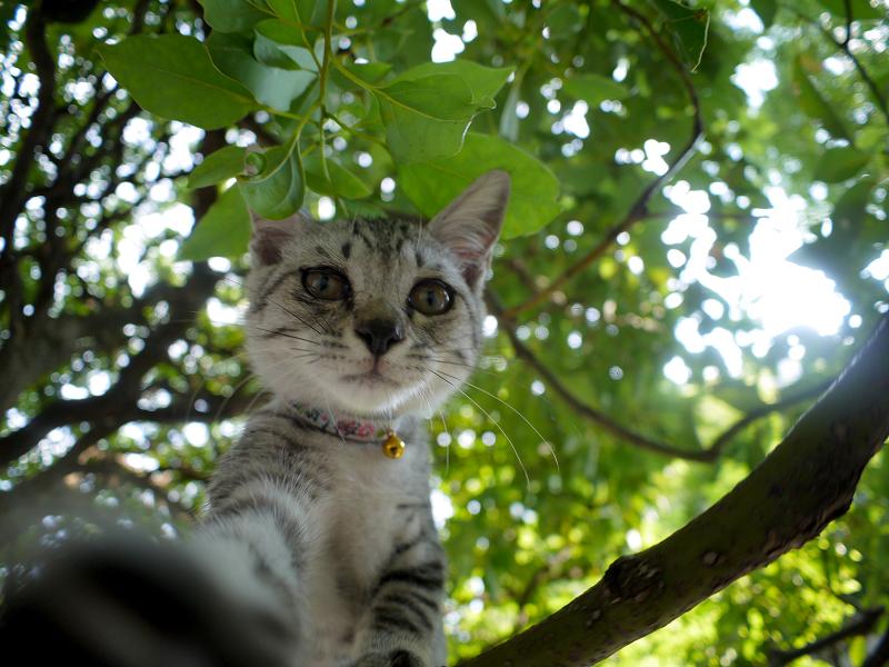 クスノキの樹上から見下ろすサバトラの仔猫4