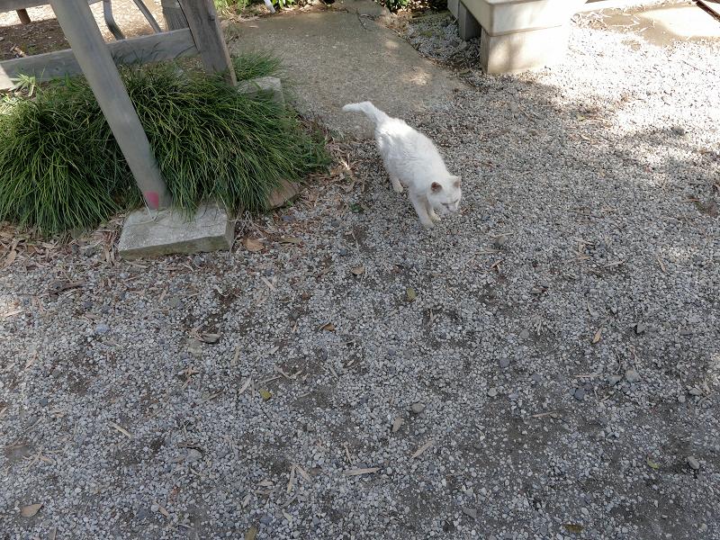 玉砂利に出て来た白猫1