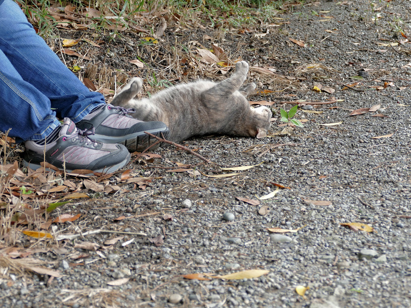足もとで転がるサビキジ猫1