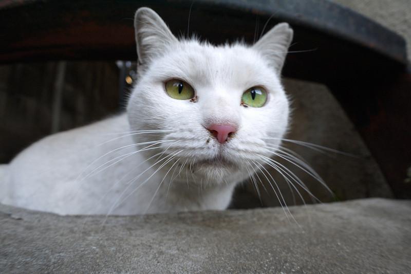 階段隙間の白猫2