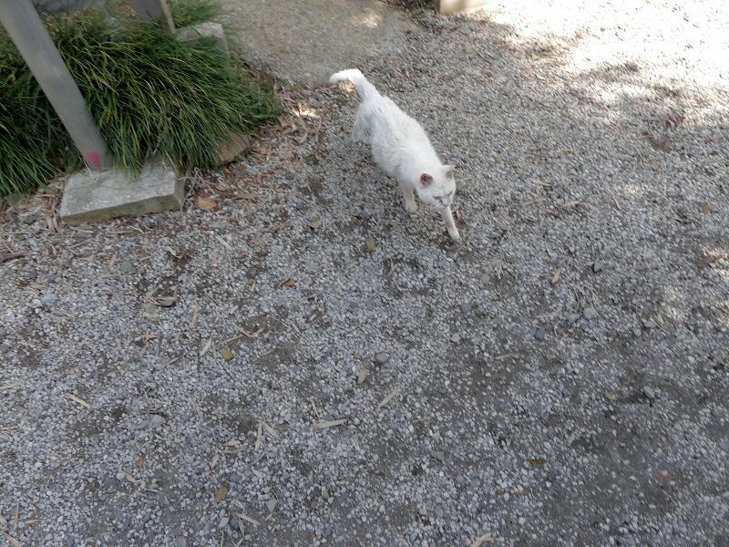 玉砂利に出て来た白猫2