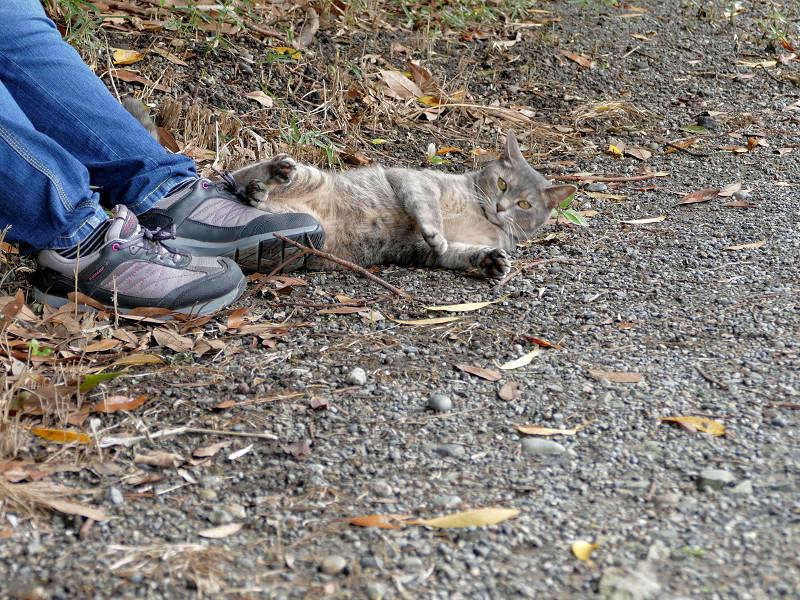足もとで転がるサビキジ猫2