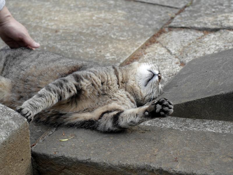 悶絶するキジトラ猫2