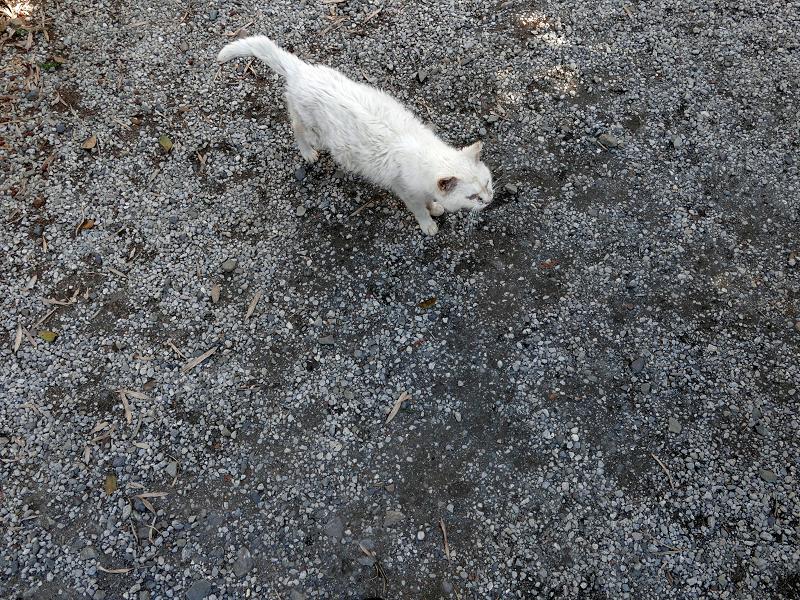 玉砂利に出て来た白猫3