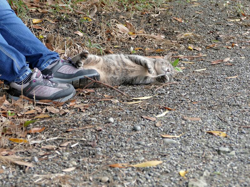 足もとで転がるサビキジ猫3