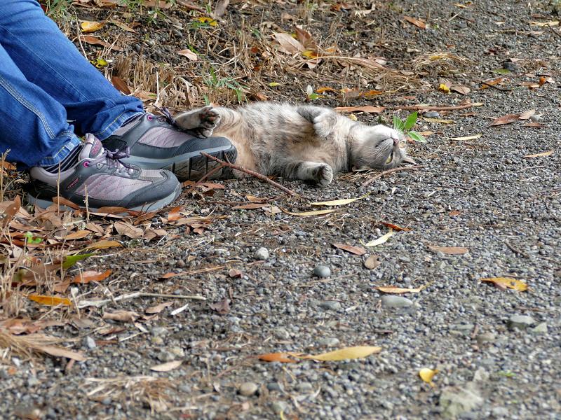 足もとで転がるサビキジ猫4