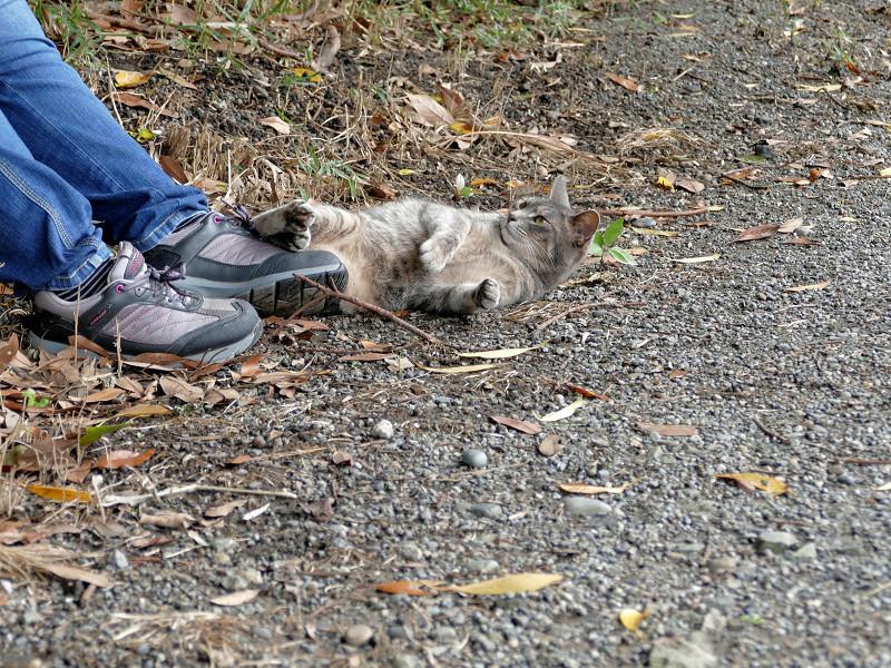 足もとで転がるサビキジ猫5