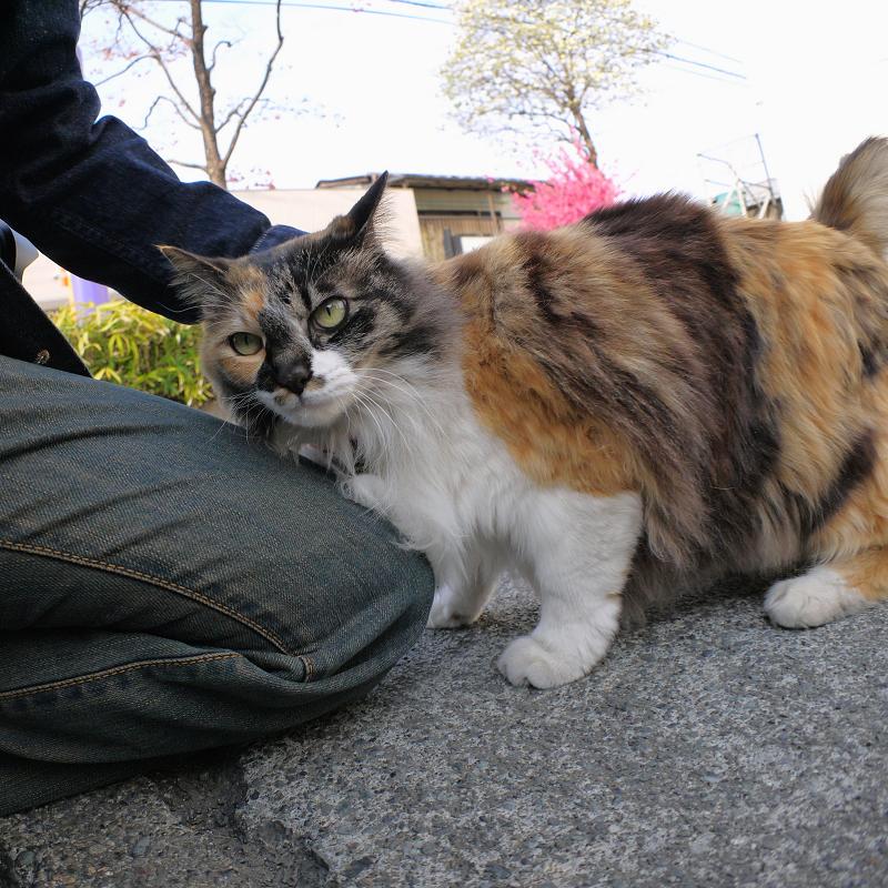 膝に体を擦り付ける毛長の三毛猫1