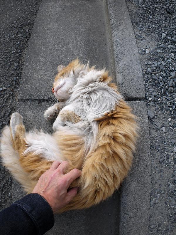 体を曲げてる毛長の茶白猫2