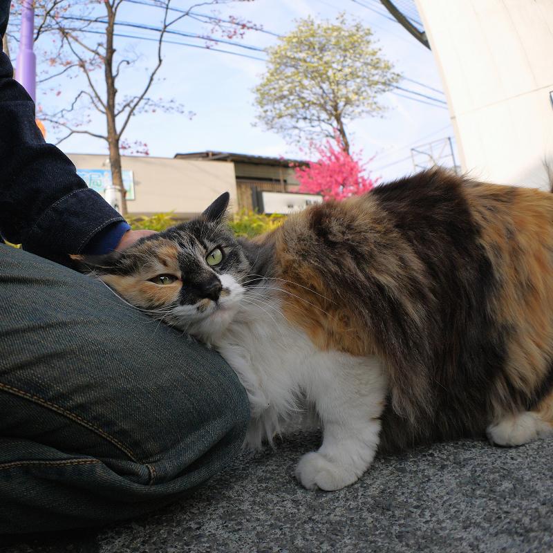膝に体を擦り付ける毛長の三毛猫2