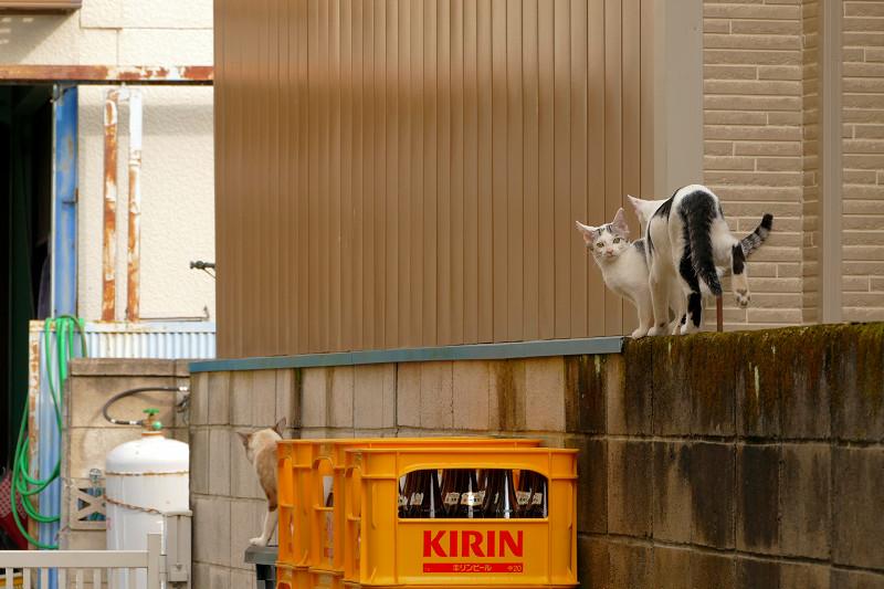ブロック塀を移動した猫たち2