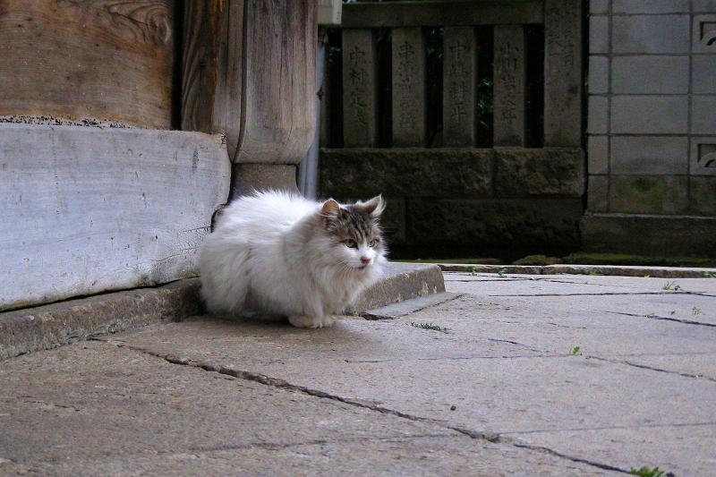 総門前の毛が長い猫1