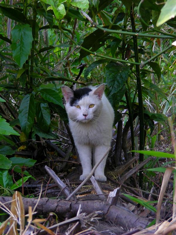 茂みから白黒猫1