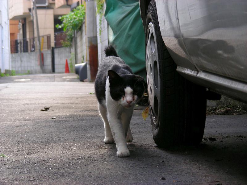 路地を歩く黒白猫1
