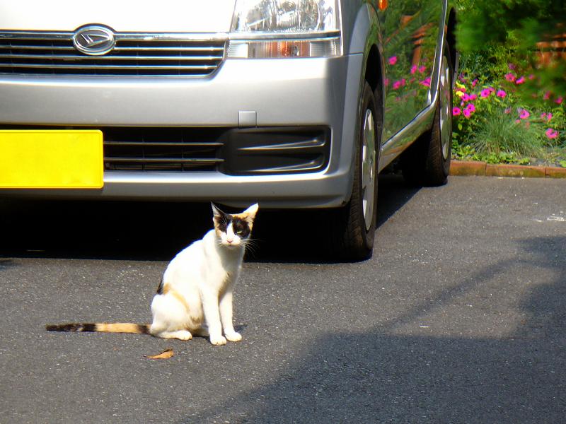 青空駐車場の三毛猫1