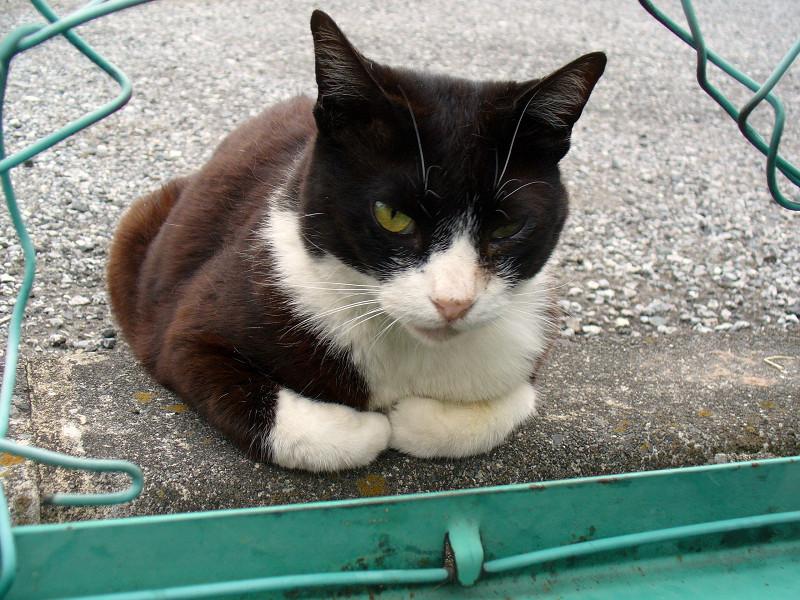金網と黒白猫1