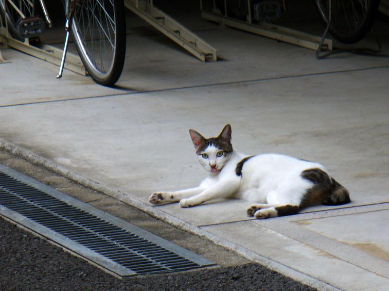 駐輪場の白キジ猫1