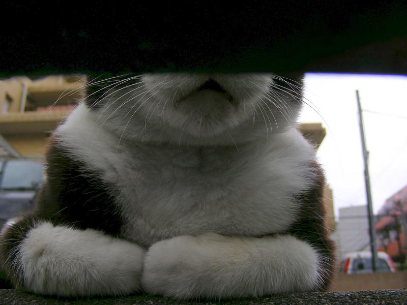 金網と黒白猫2