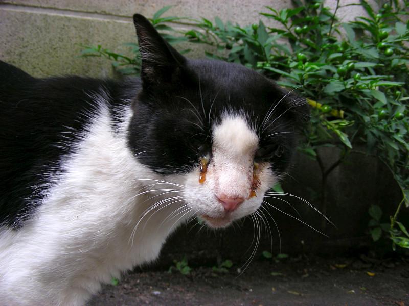 路地を歩く黒白猫2