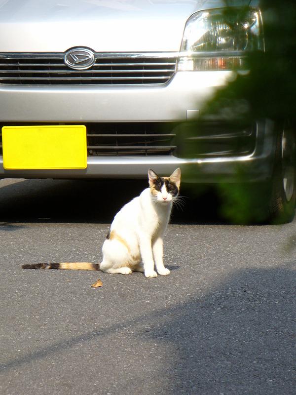 青空駐車場の三毛猫2