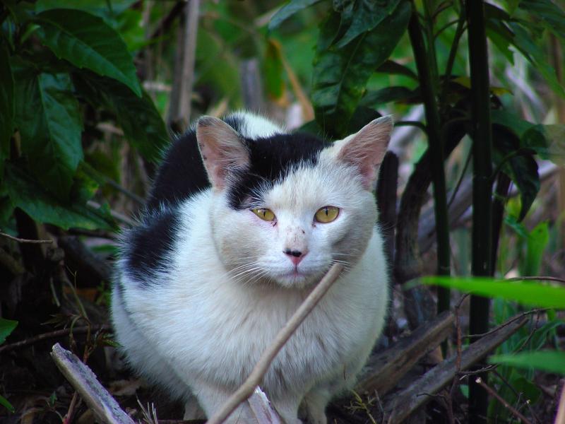 茂みから白黒猫3