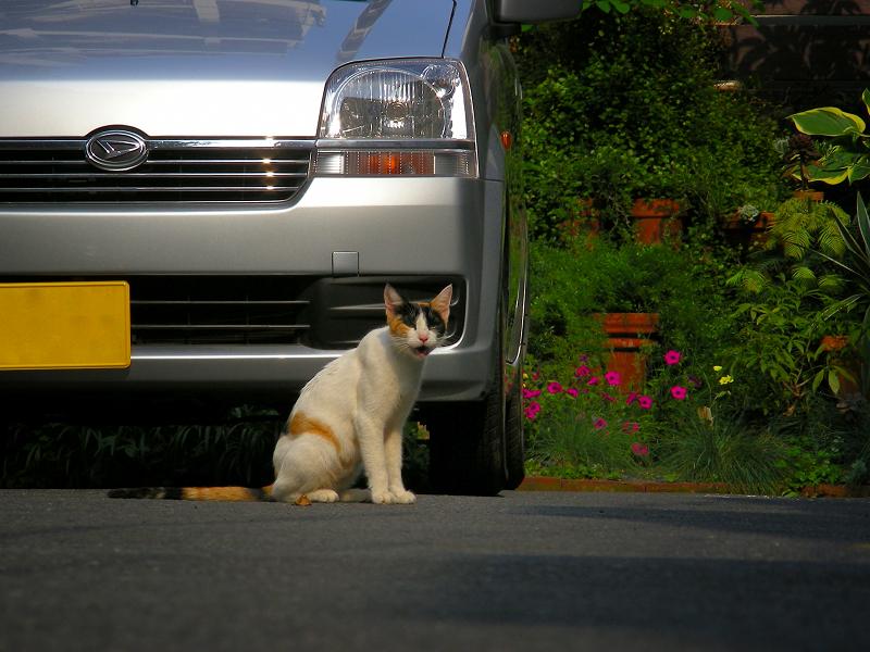 青空駐車場の三毛猫3