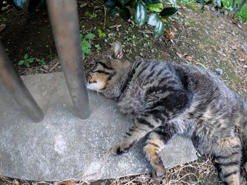 支柱と転がってるキジトラ猫1