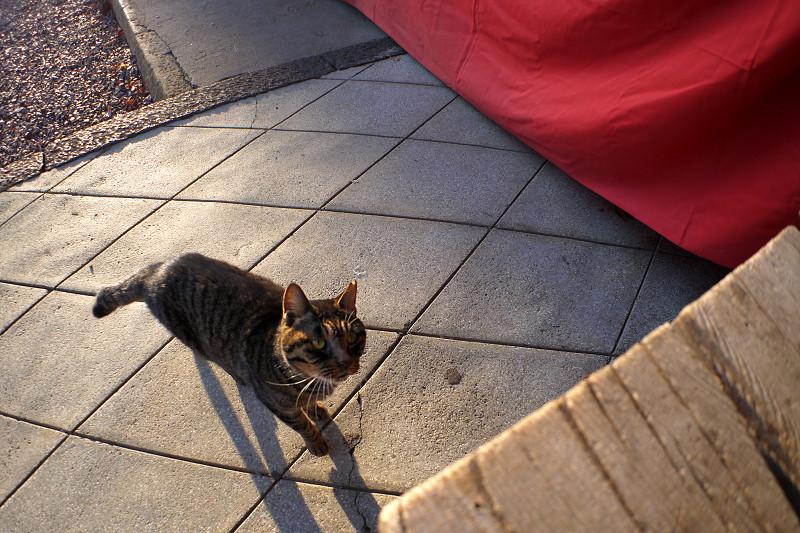 階段に飛び乗るキジトラ猫1