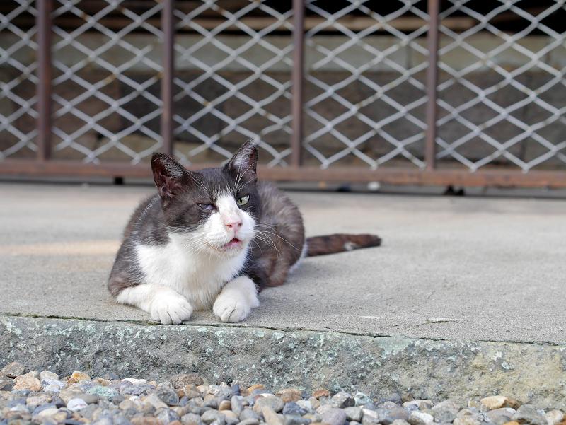 犬走りで鳴く黒白猫1
