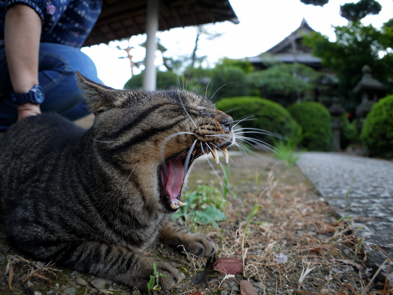 縁石上でアクビするキジトラ猫2