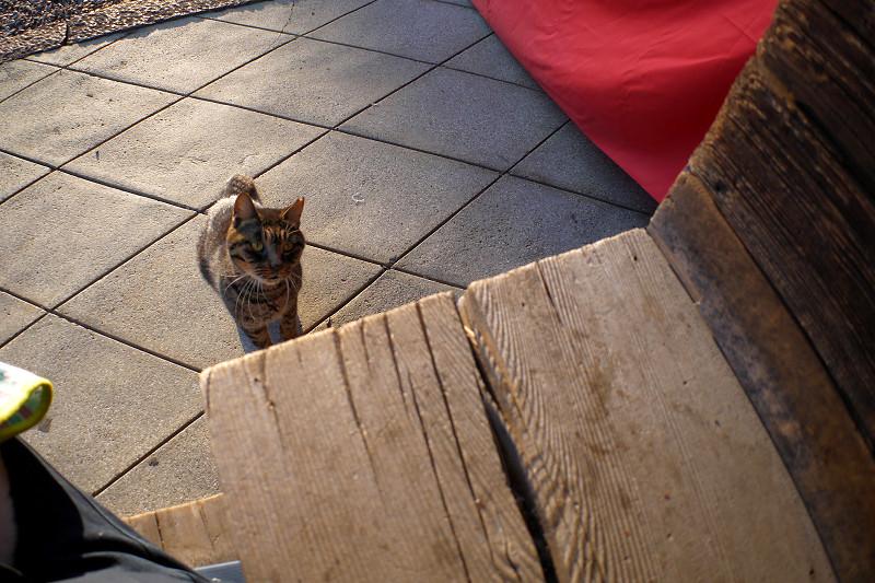 階段に飛び乗るキジトラ猫2