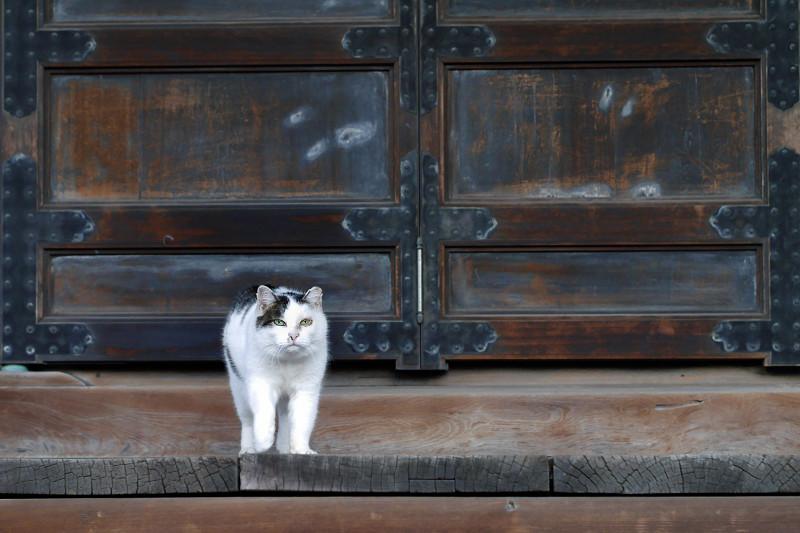 お堂扉前の白キジ猫2
