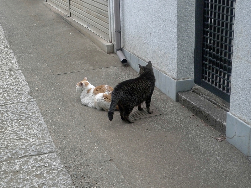 ボディガードするキジトラ猫1